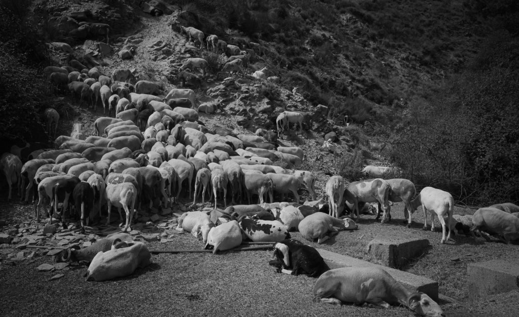 Tomilleros y pastores